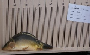 nr. 303 2000 gram 40,5 cm