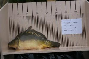nr. 108 4500 gram 58 cm